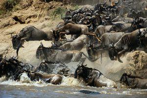 Wildebeest Maasai Mara