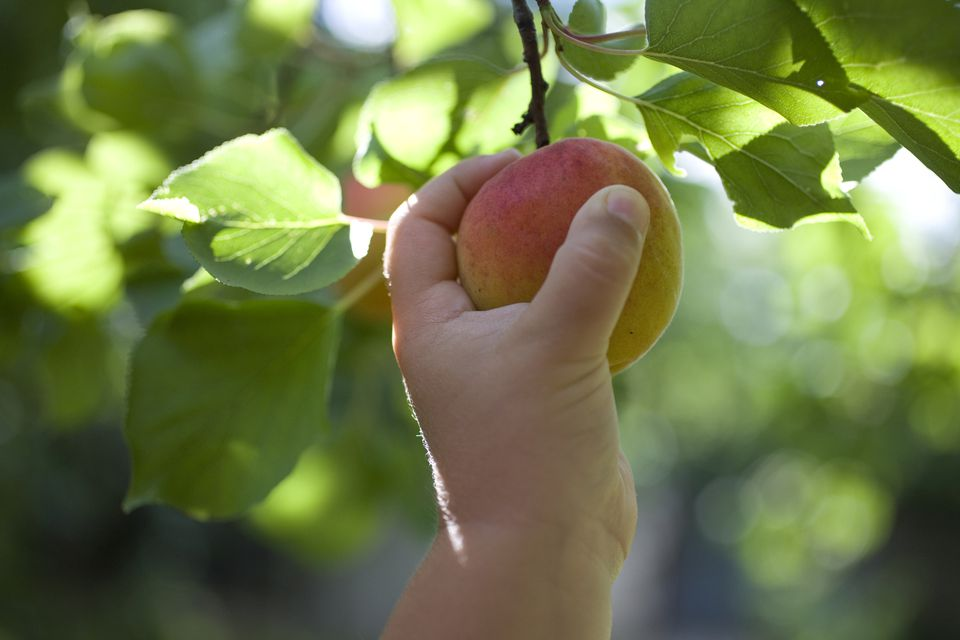 hand picking a peach from a tree