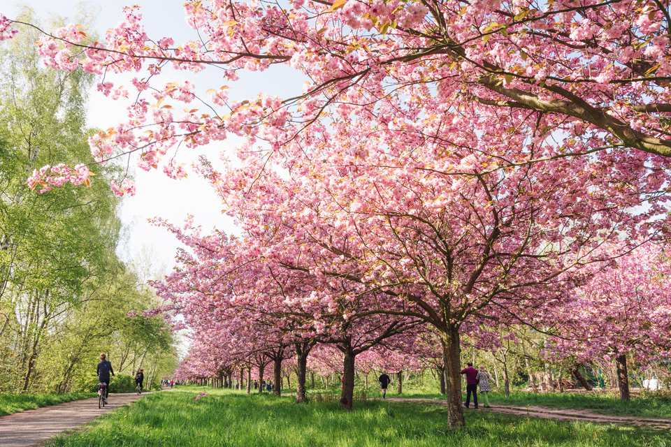 Cherry Blossoms In Berlin Germany