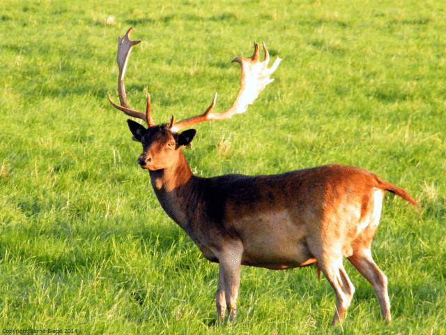 Impressive - Deer in Dublin's Phoenix Park