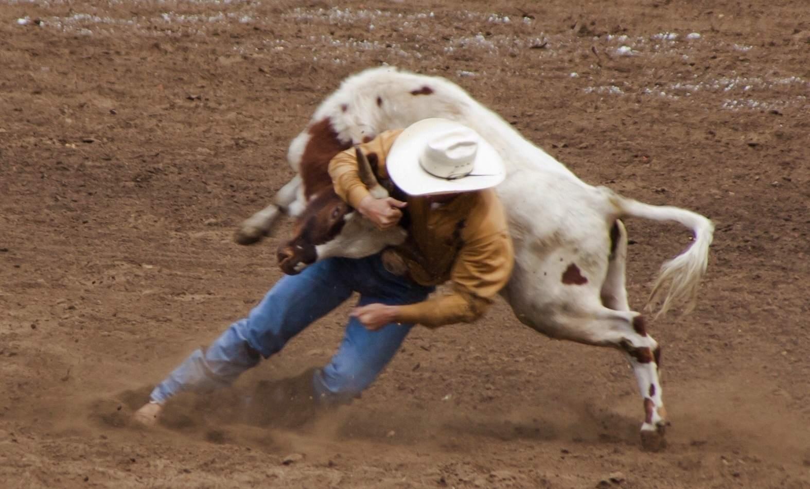 Man Tackling Bull In Stadium at Calgary Stampede
