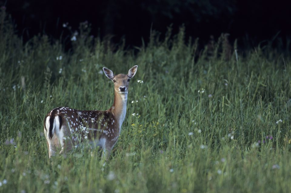 A fawn in a field during a hunting expedition.