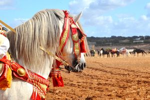 Portrait of a horse in a traditional bridle for the Fantasia event, Morocco