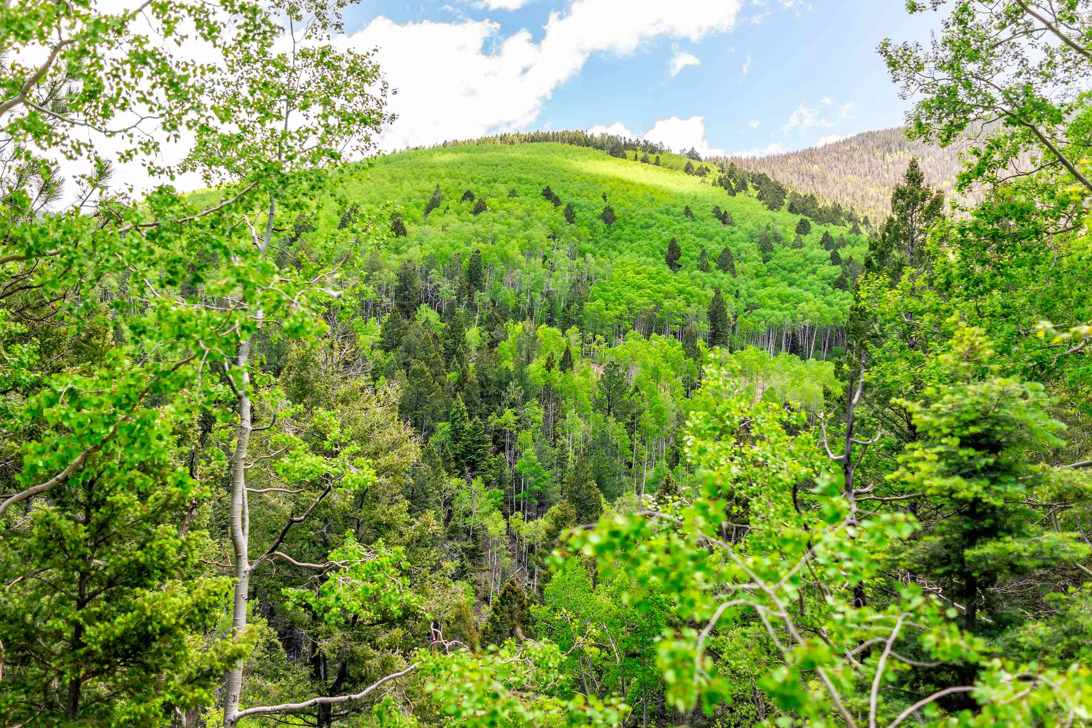 Santa Fe National Forest Sangre de Cristo mountains with green aspen trees in spring or summer and peak