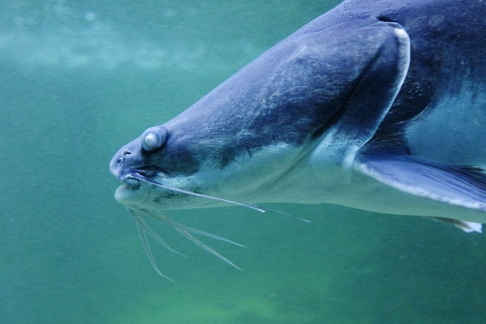 Close-Up Of Catfish In Sea