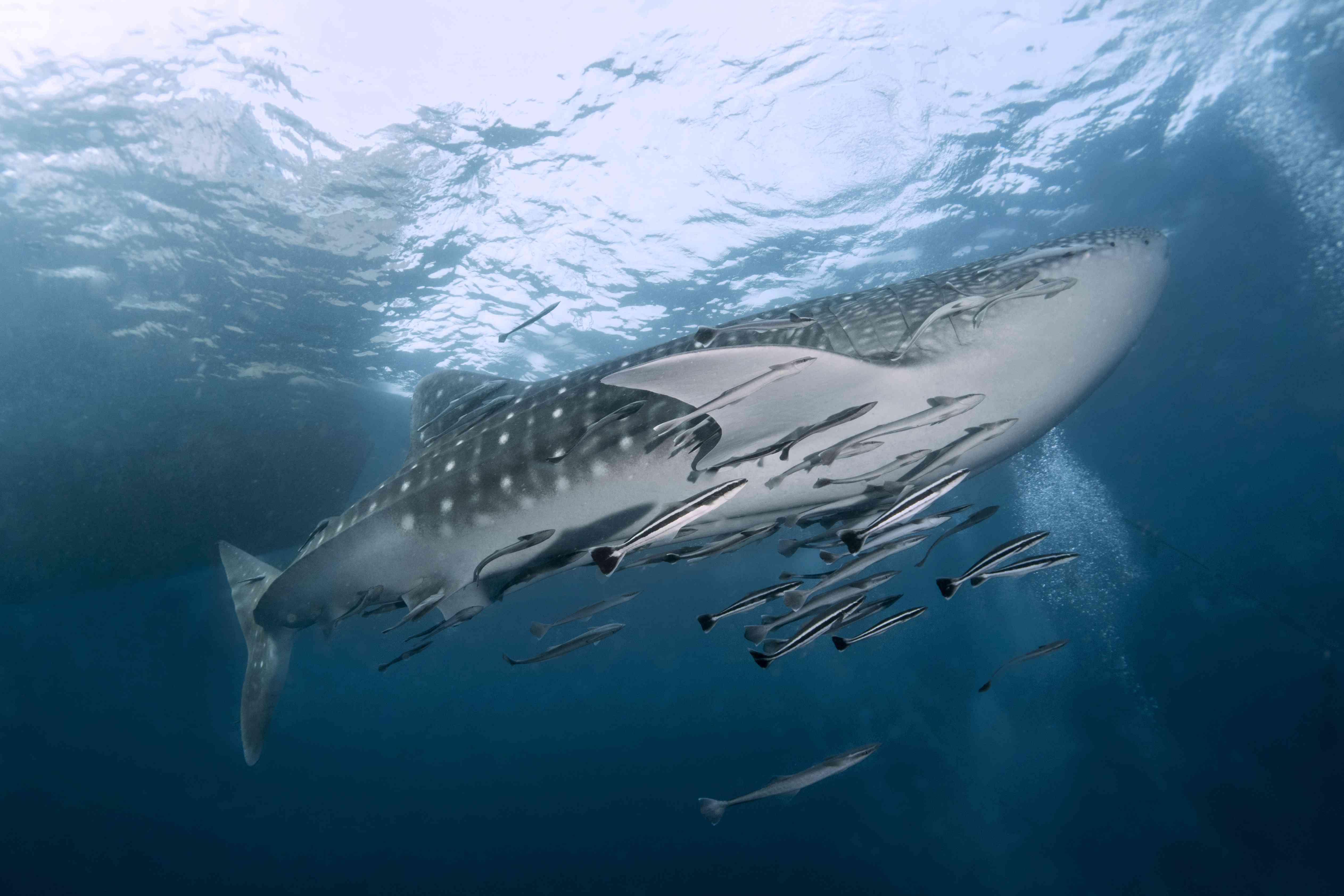 Whale shark swimming near Koh Tao, Thailand
