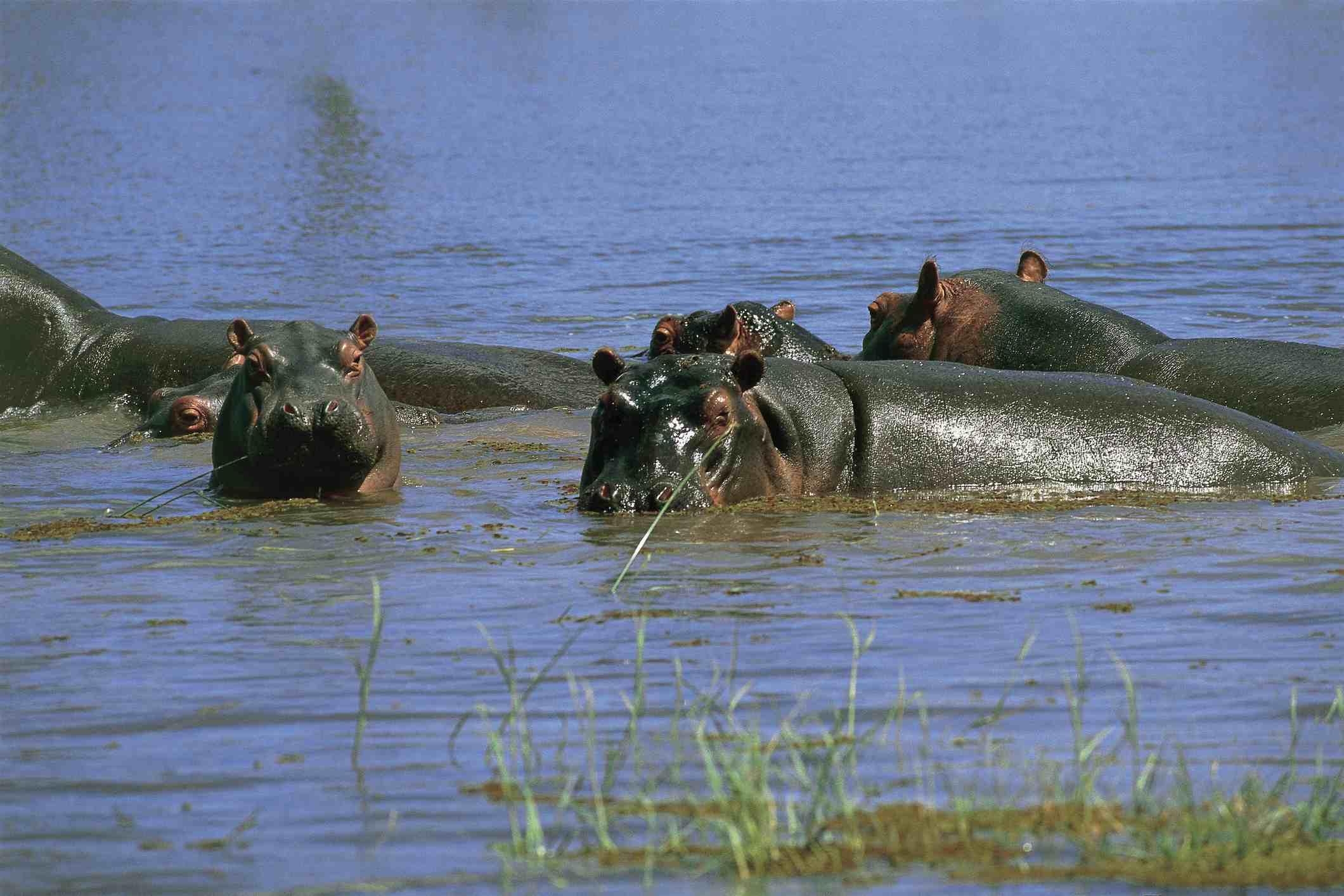 Hippopotamuses in a lake, Lake Kariba, Zimbabwe