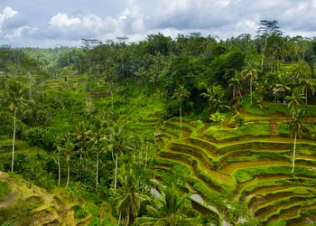 Aerial photograph of the Tegallalang Rice Terraces on Bali