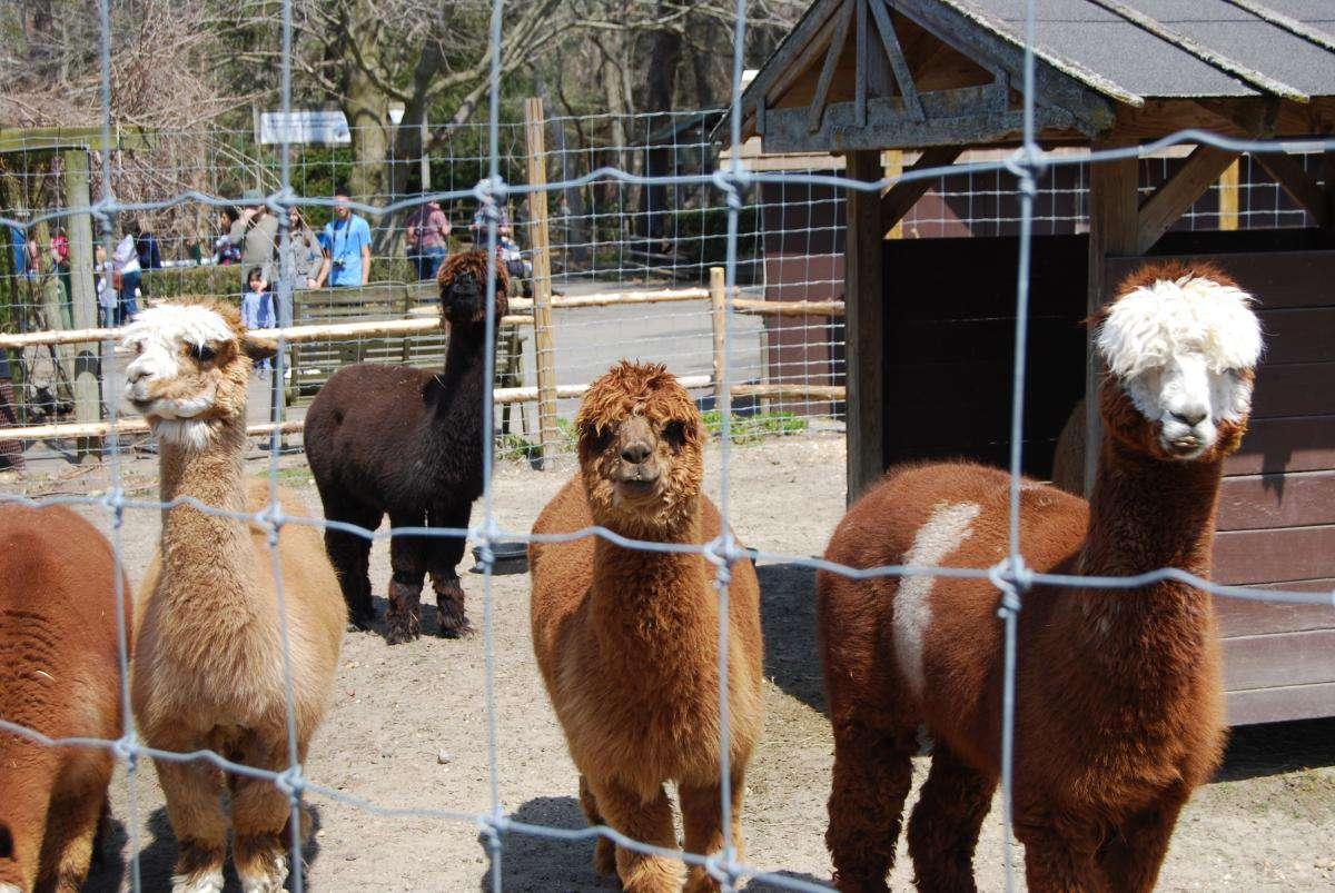 Alpacas at the Long Island Game Farm