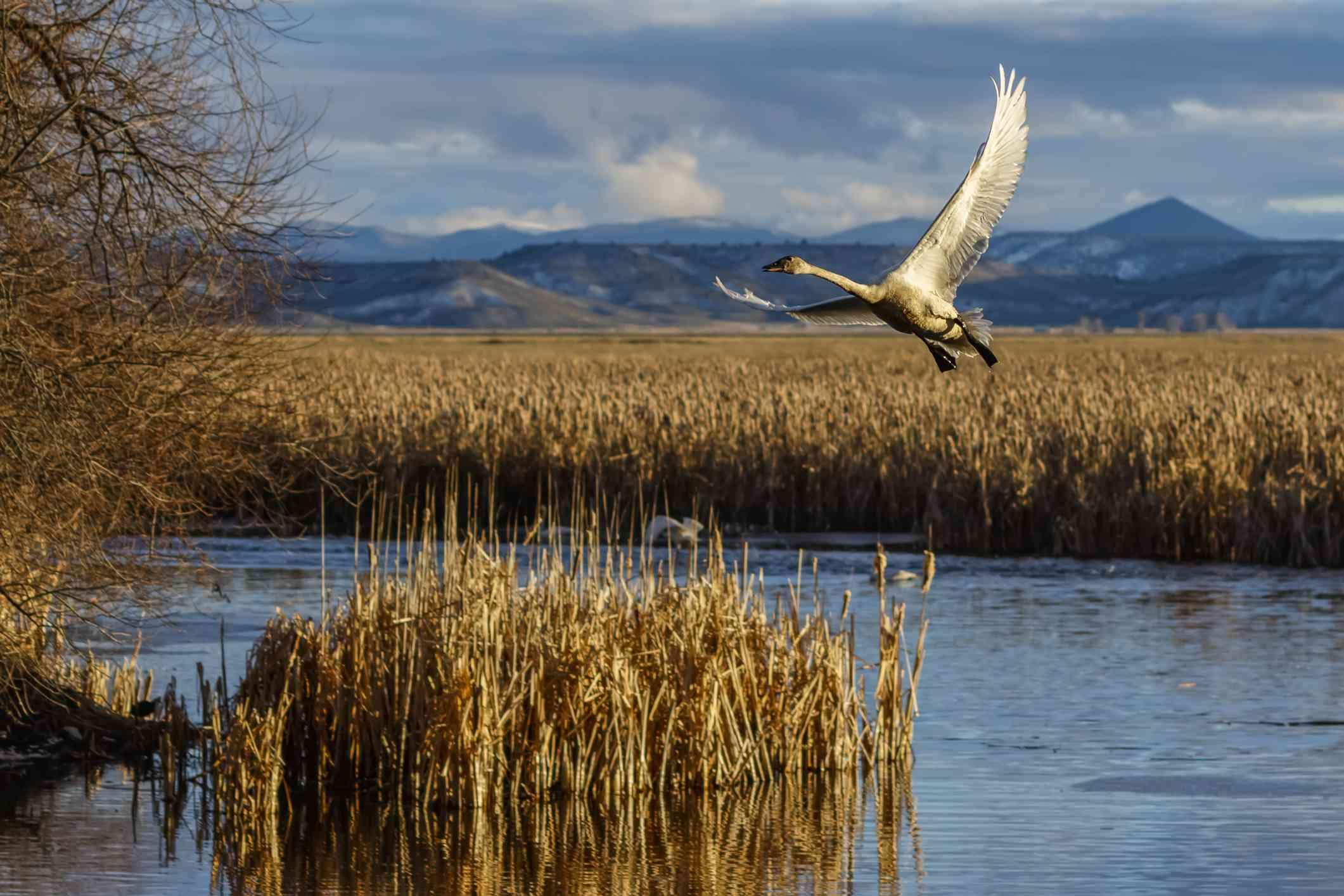 Tundra swan at the Klamath Basin National Wildlife Refuge