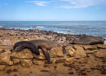 Seal fur colony at Cape Cross Seal Reserve, Namibia.