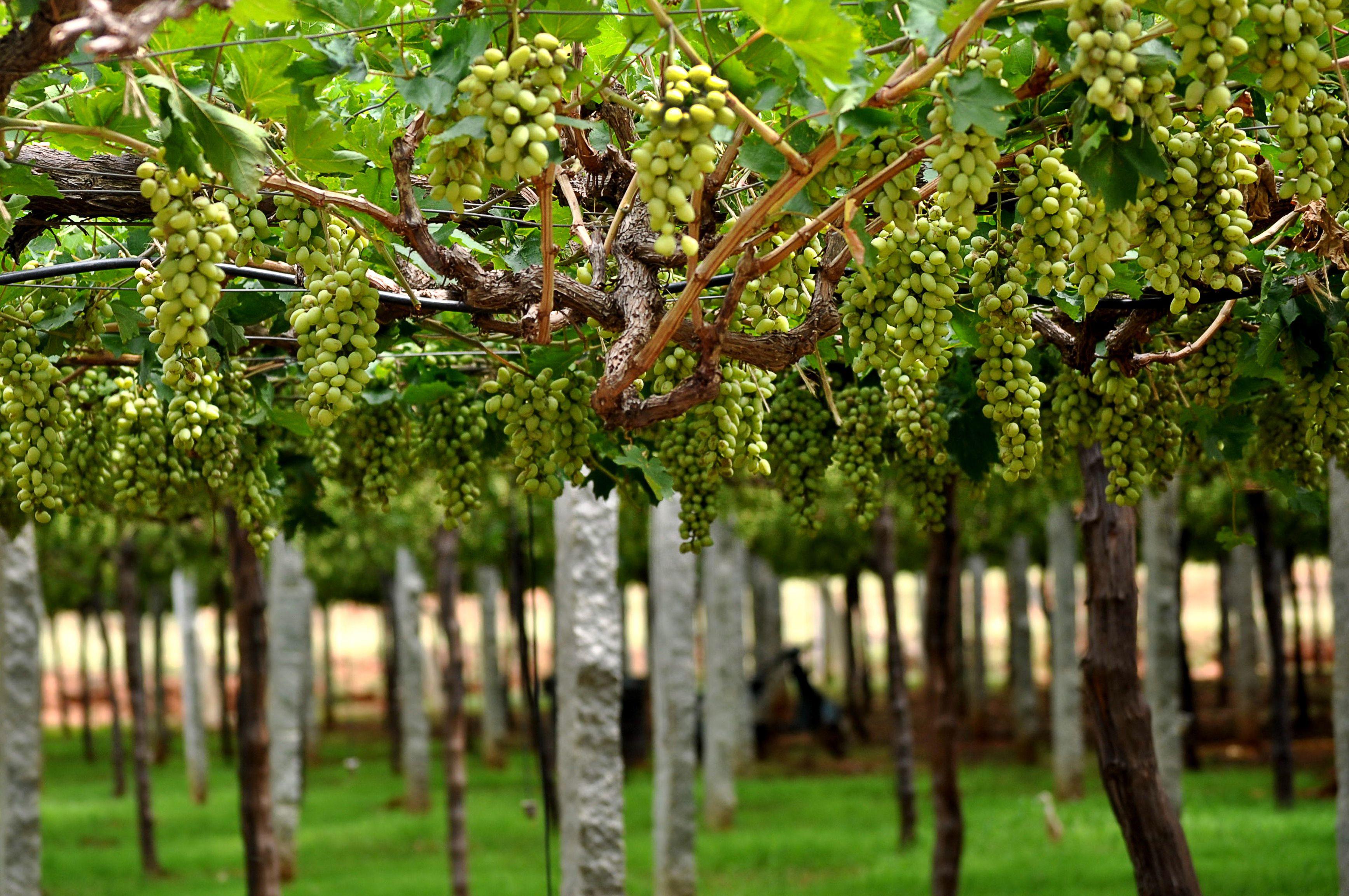 Grape vines in India.