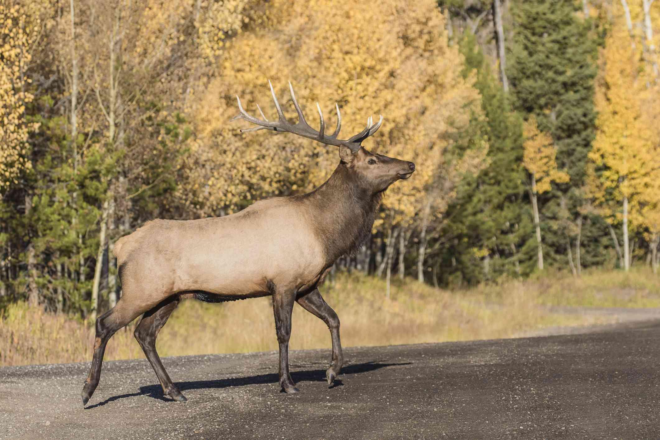 Elk in Pittsburgh