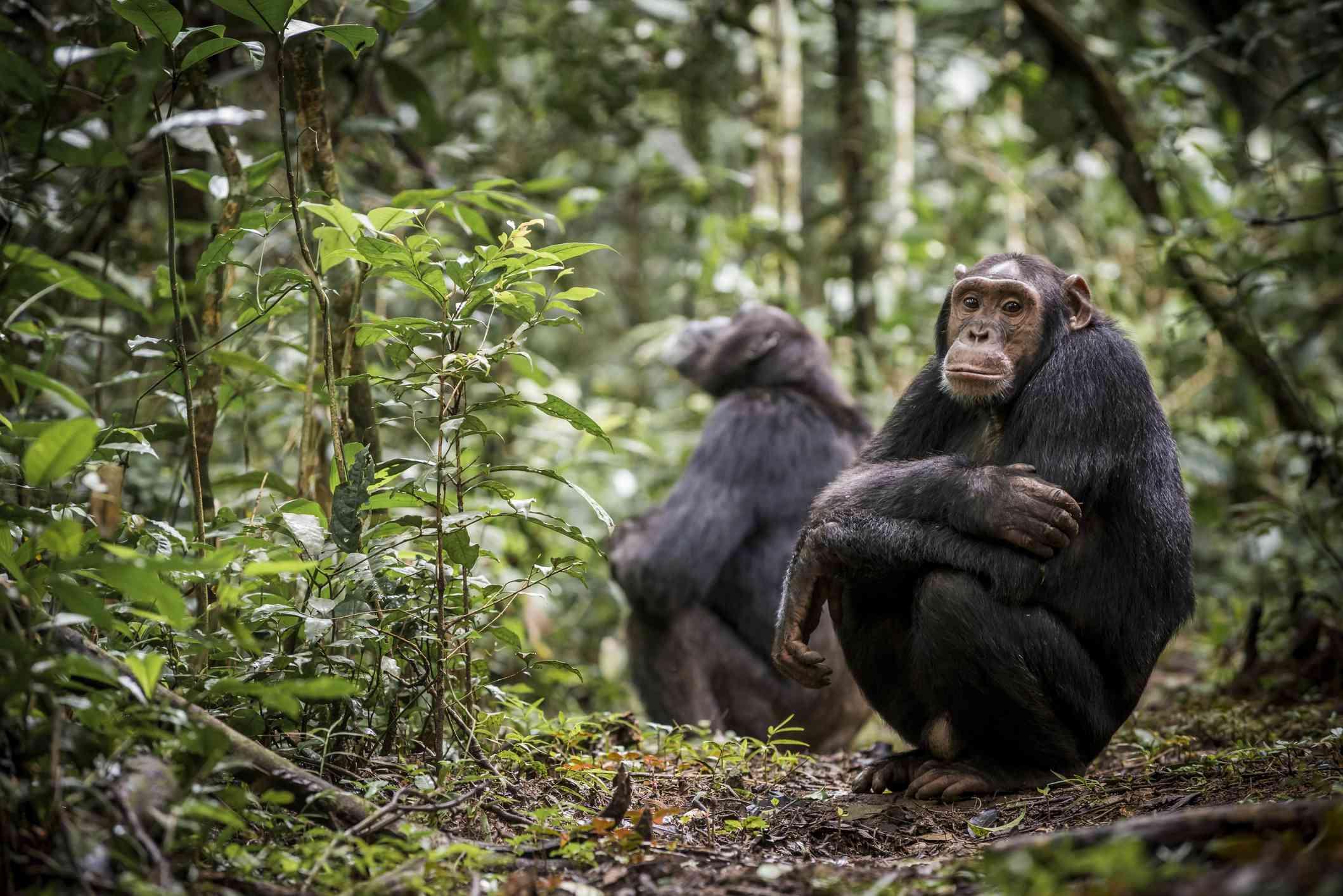 Chimpanzees in Kibale National Park, Uganda