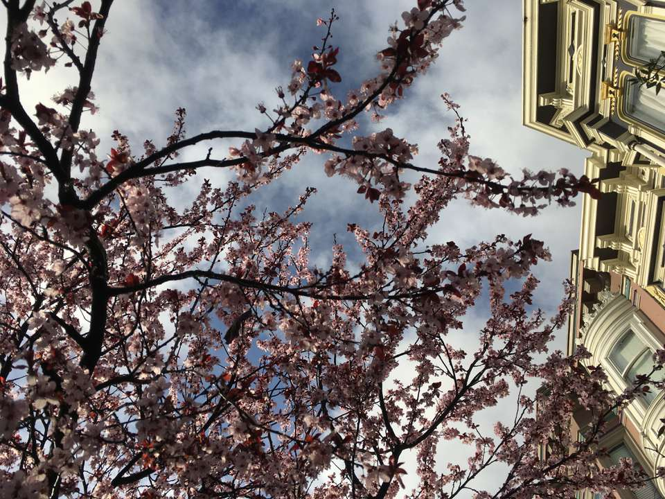Low angle view of cherry blossom tree in San Francisco.