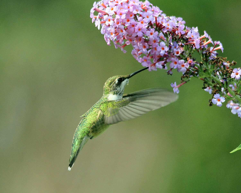 Female ruby throated hummingbird, Archilochus colubris, feeding on milkweed