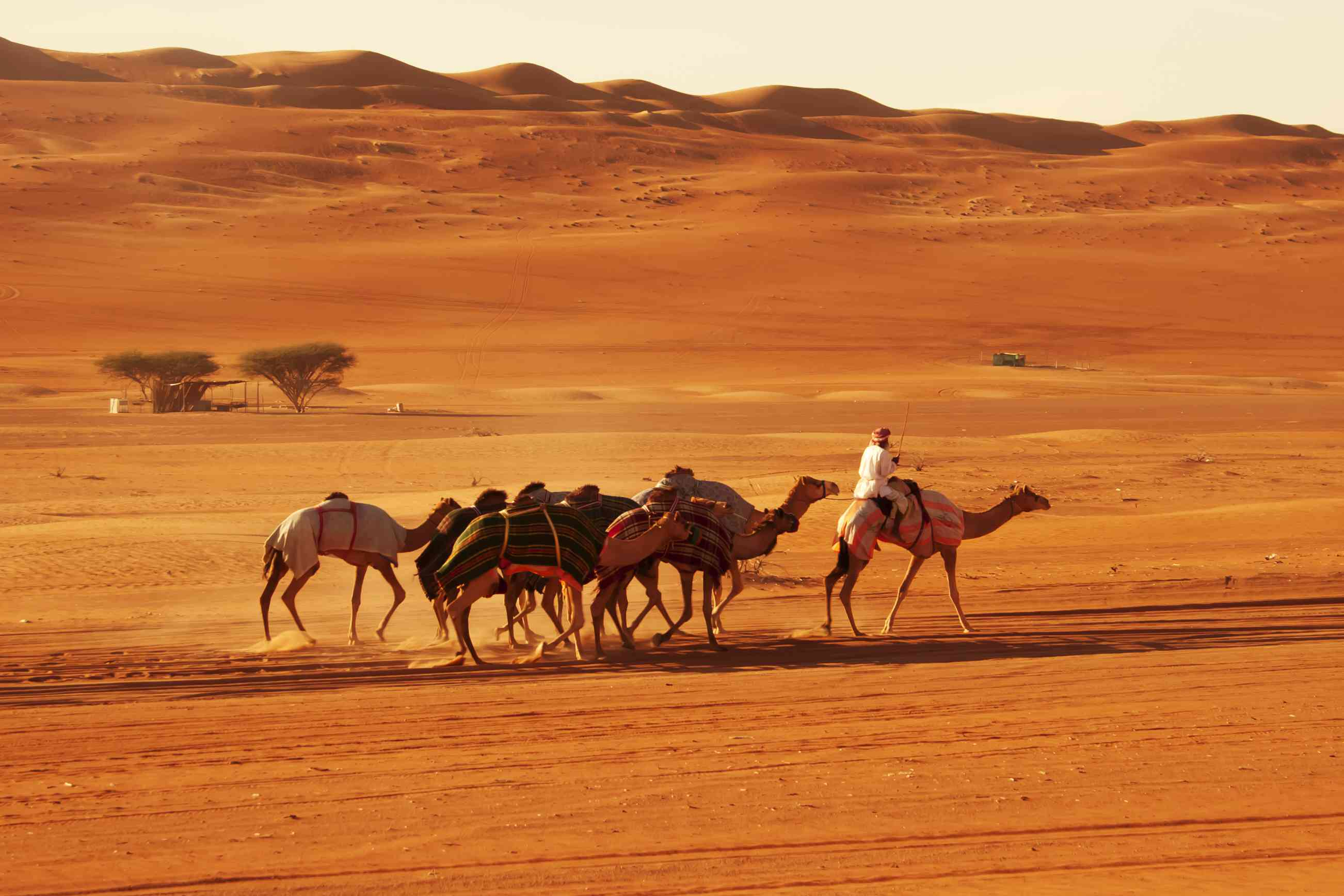 Bedouin man crossing the golden desert of Sharqiya/Wahiba Sands with his camels