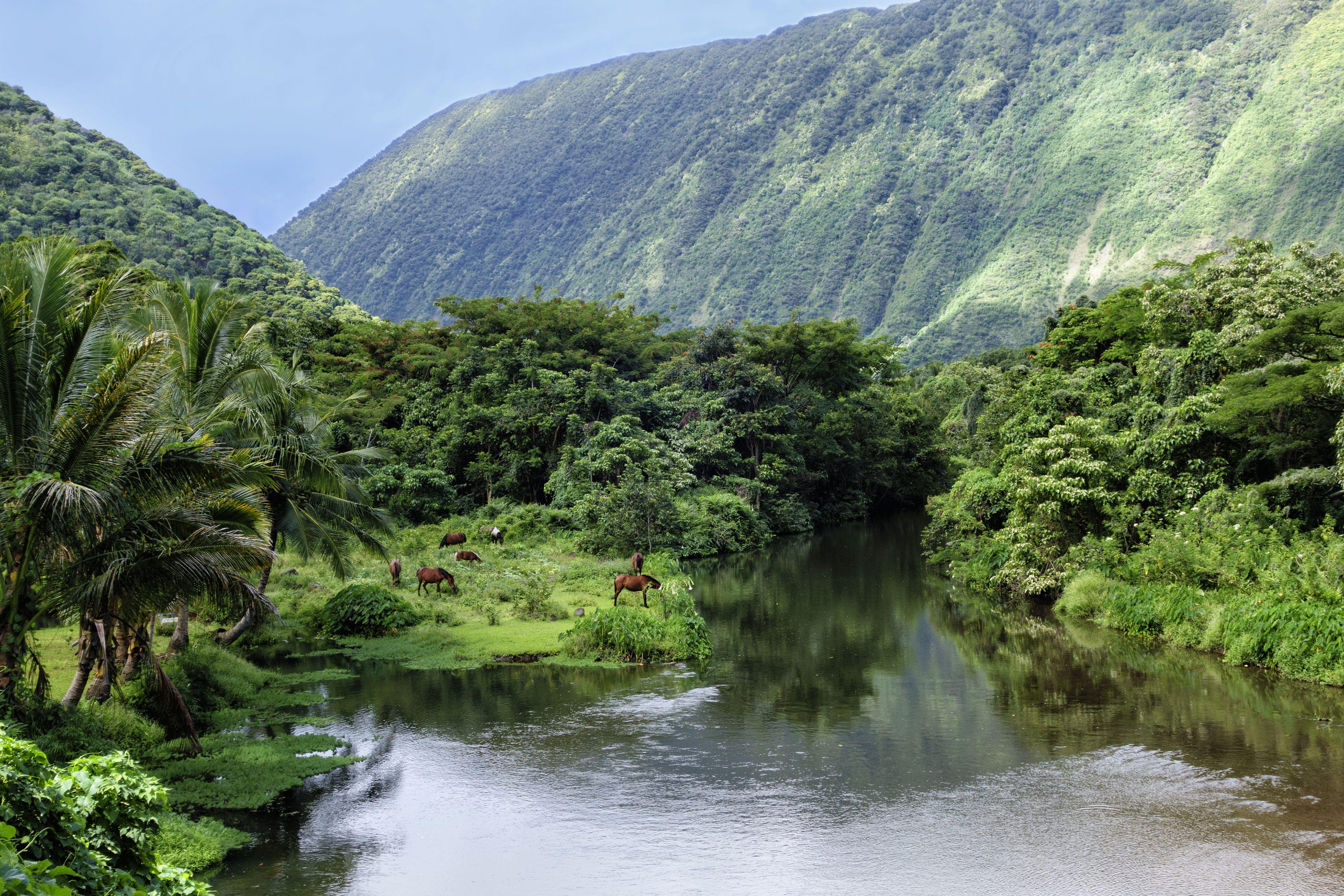Wild horses on banks of Waipio Valley River