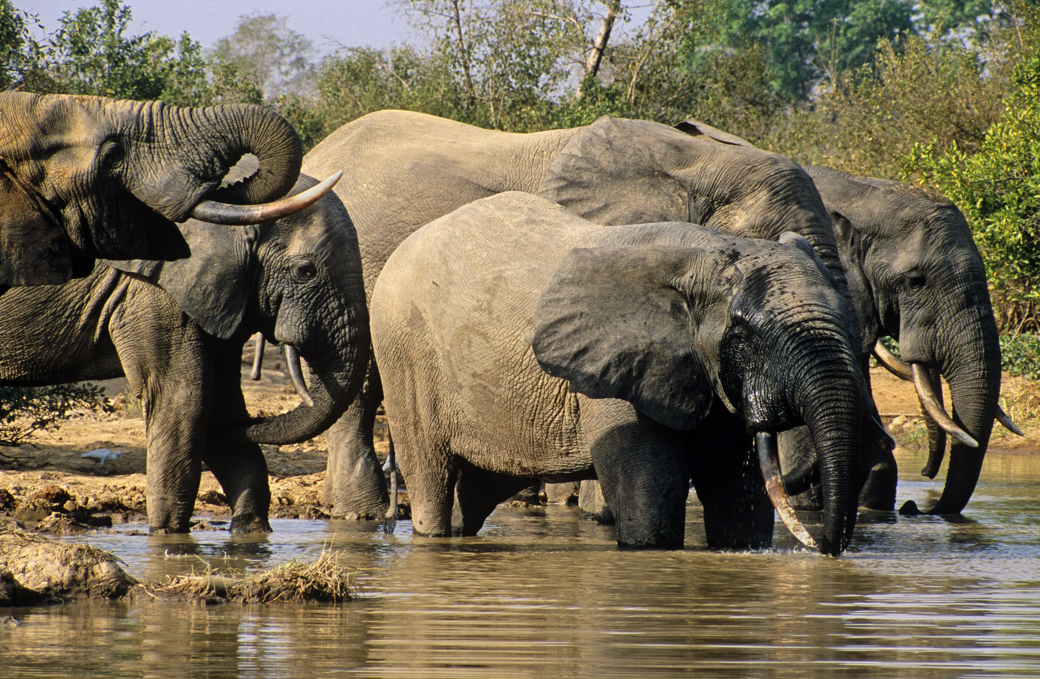 Herd of elephants at a watering hol in Mole National Parke