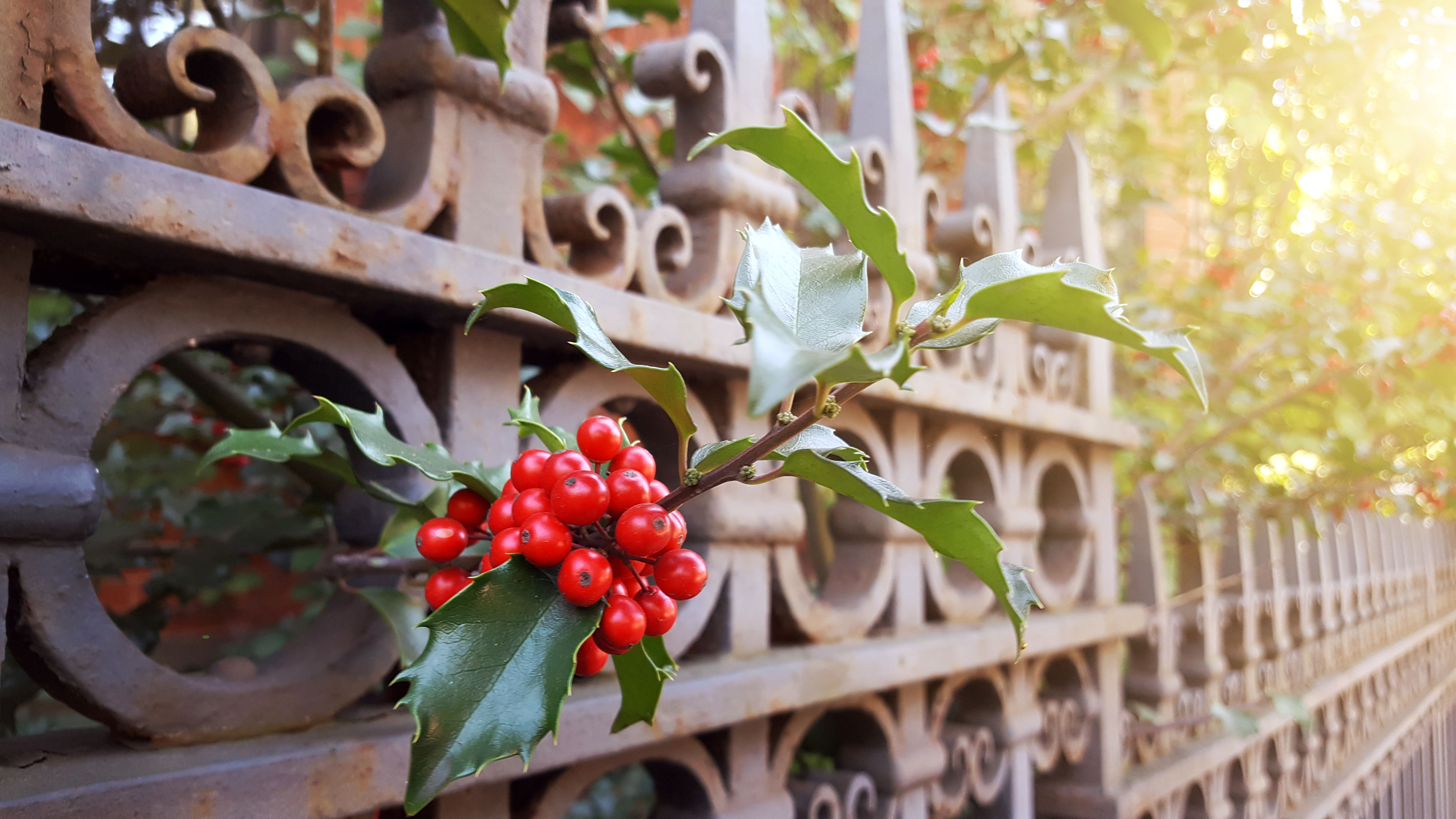 Detail of American Holly bush with berries on fence of townhouse