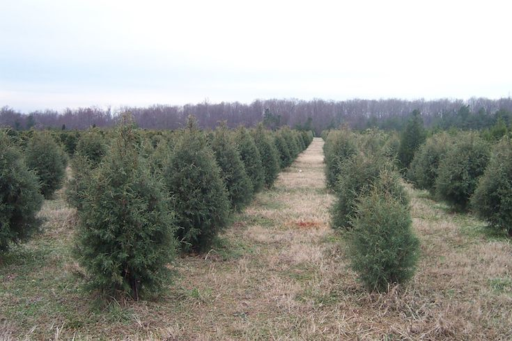 - Where To Choose And Cut Your Own Christmas Tree Near Charlotte, NC