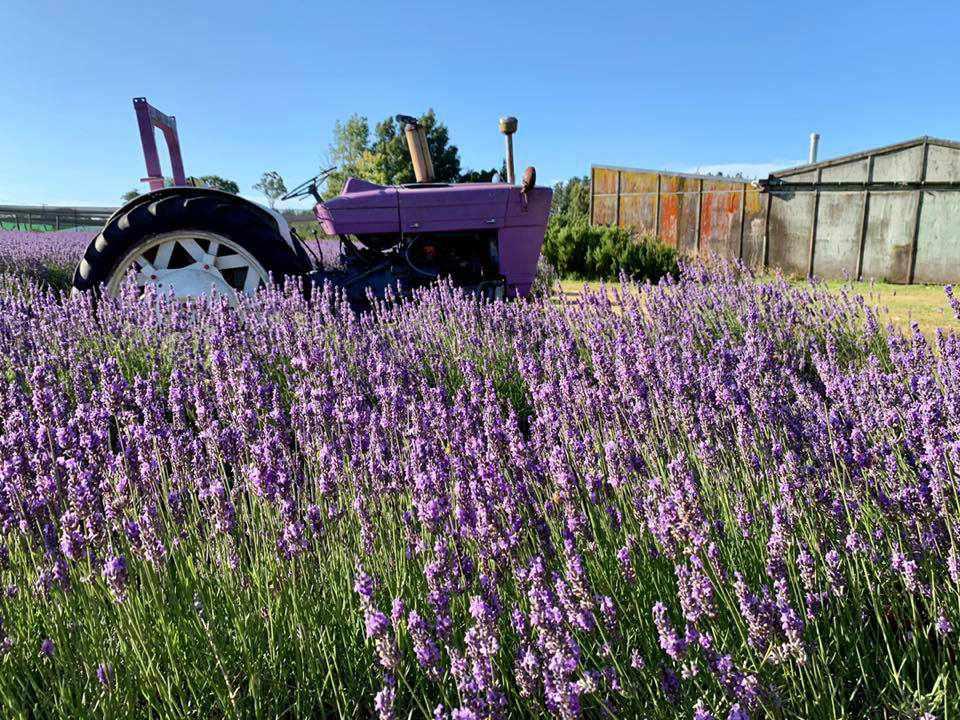 purple tractor in a field of lavender