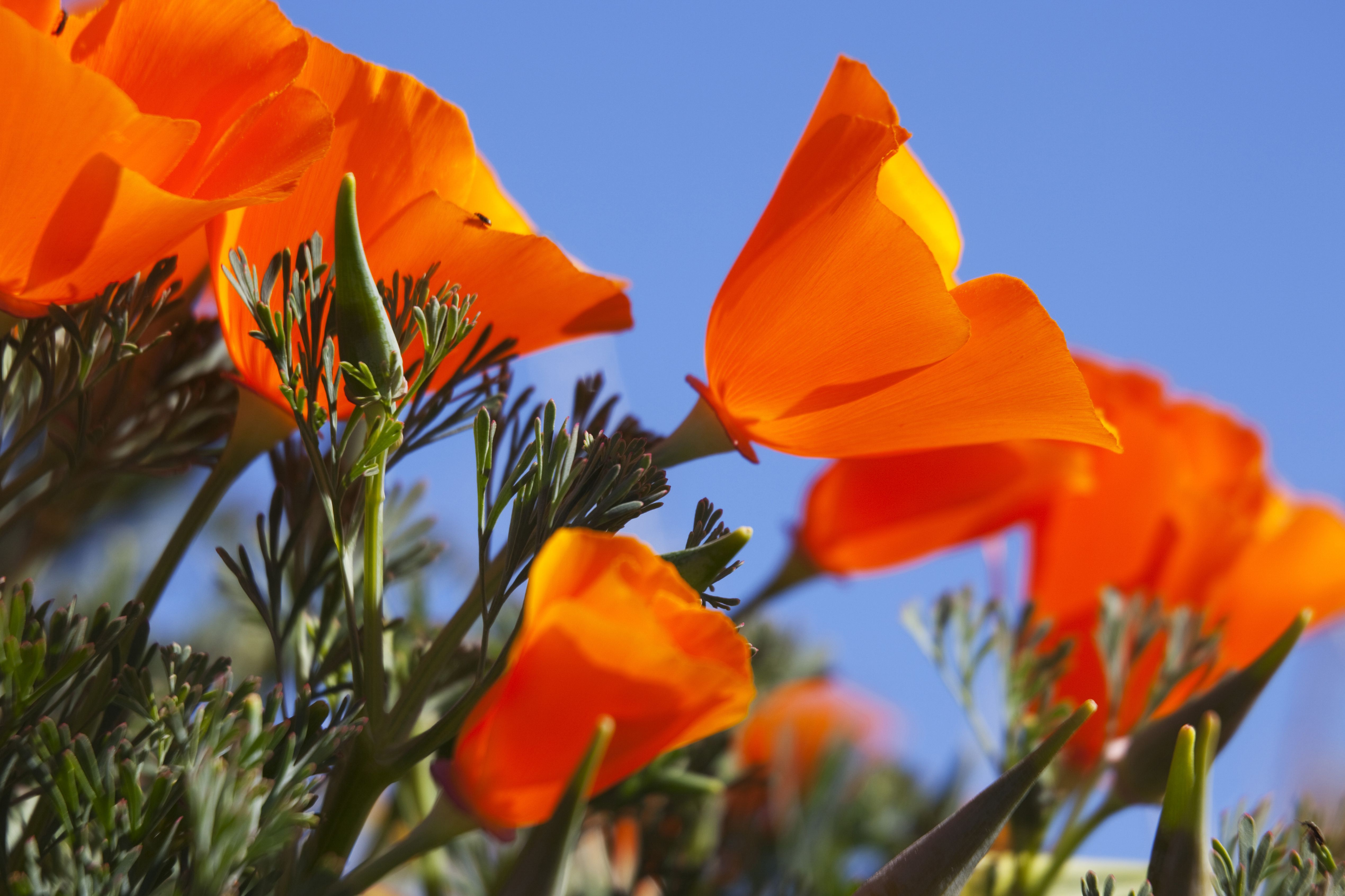 Antelope Valley Poppy Reserve What To Know About It