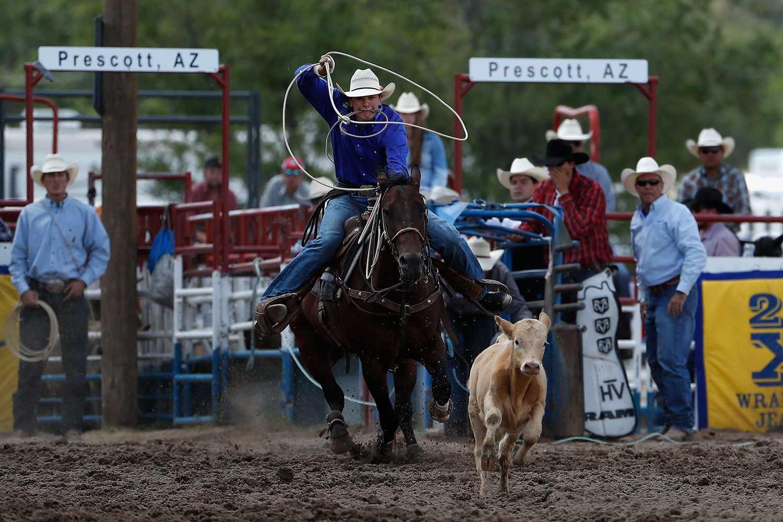 Man on horse at rodeo roping a calf