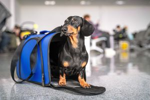 Obedient dachshund dog sits in blue pet carrier in an airport