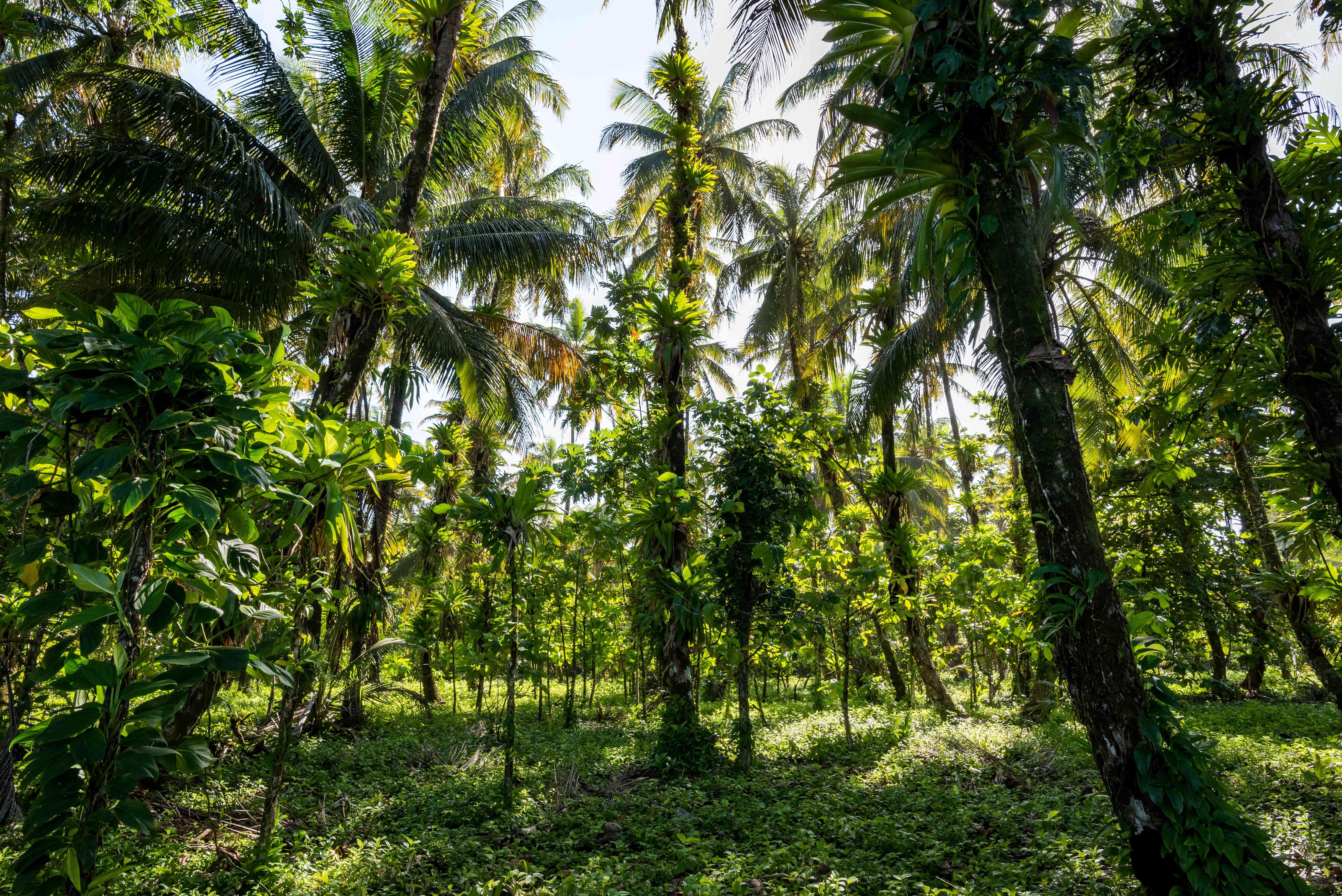 Palm tree jungle on Bocas del Toro