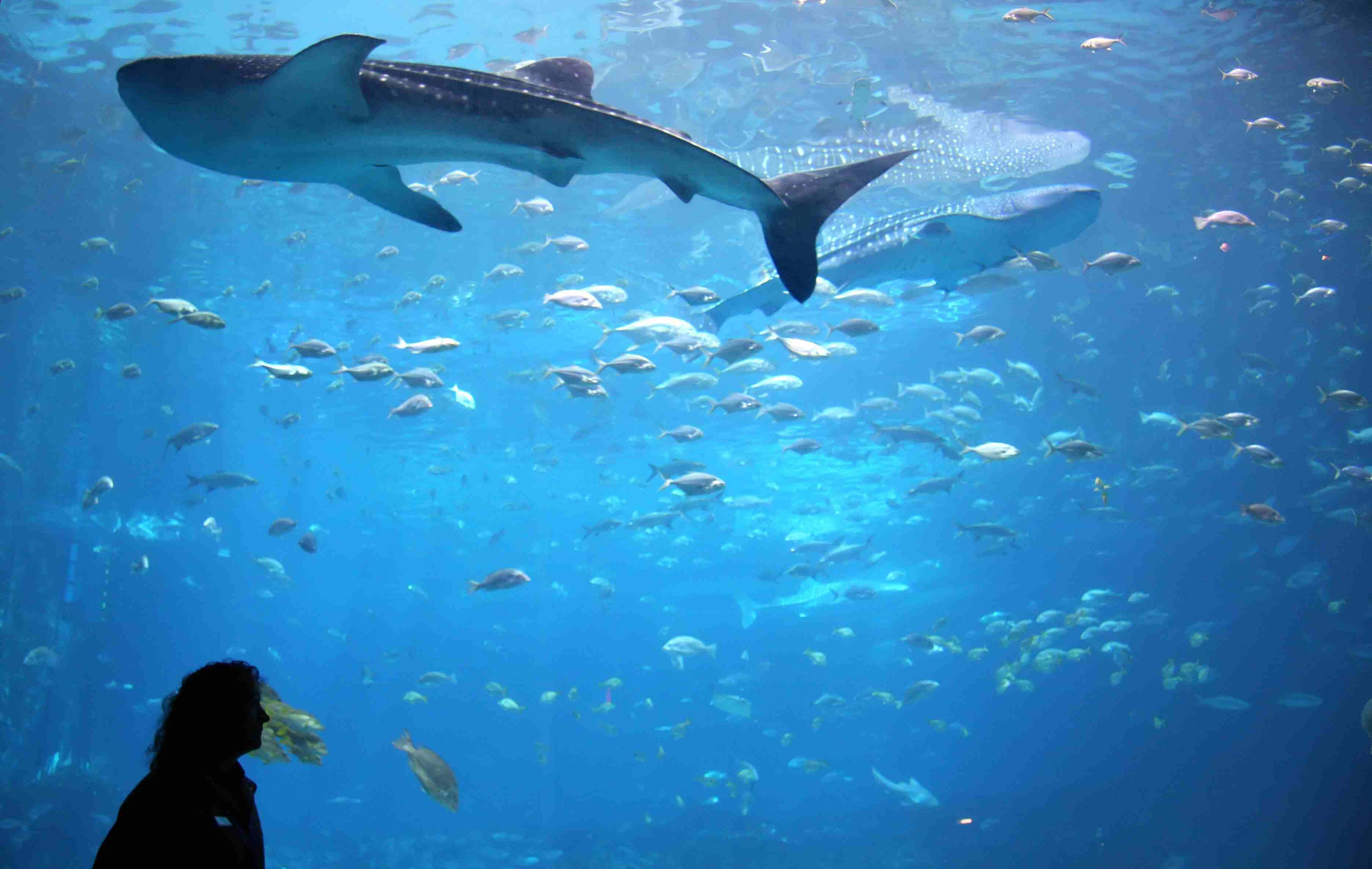 Whale shark in giant aquarium tank at Georgia Aquarium