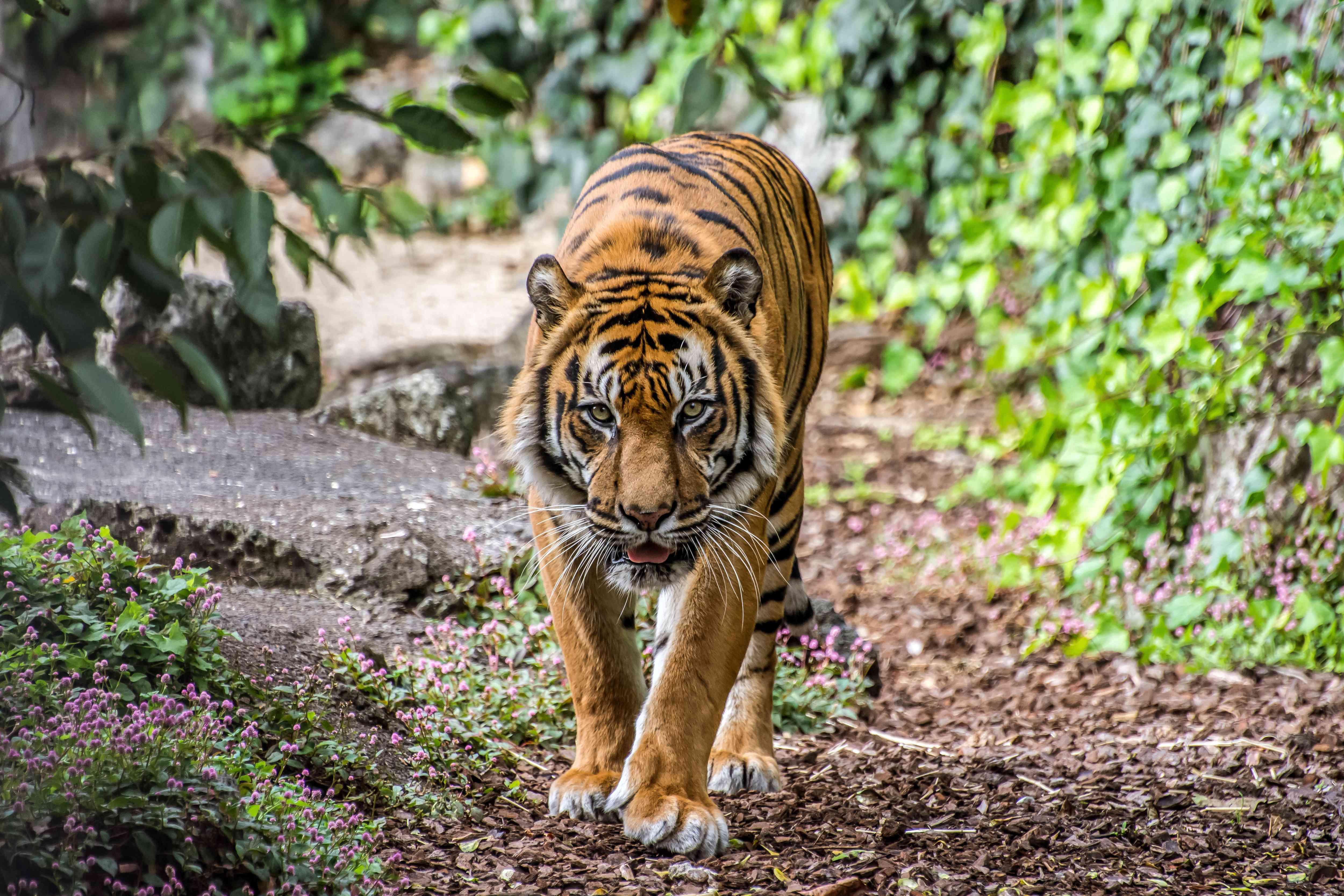 A Sumatran tiger walking a trail