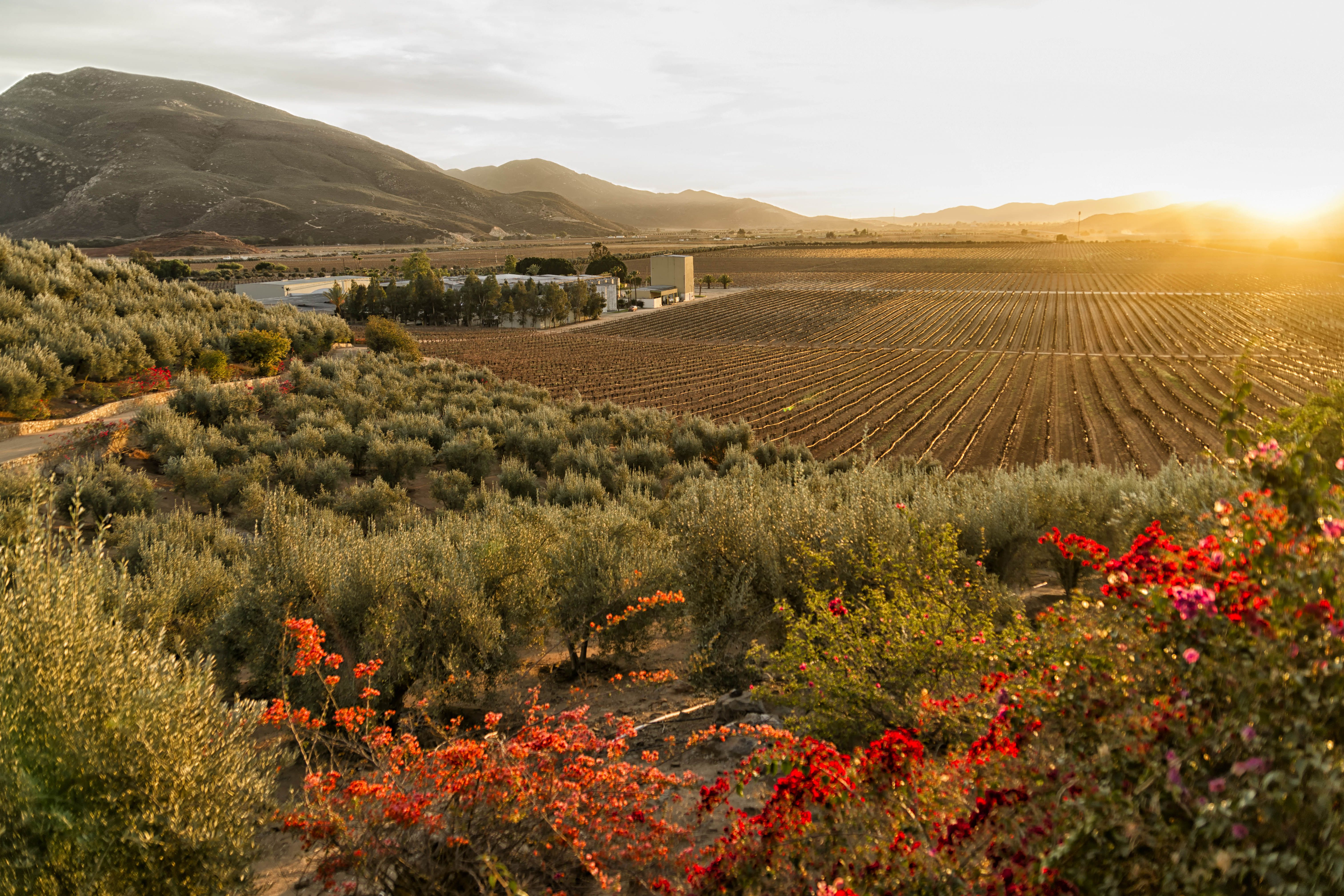 Vineyard and winery at sundown in the Valle de Guadalupe
