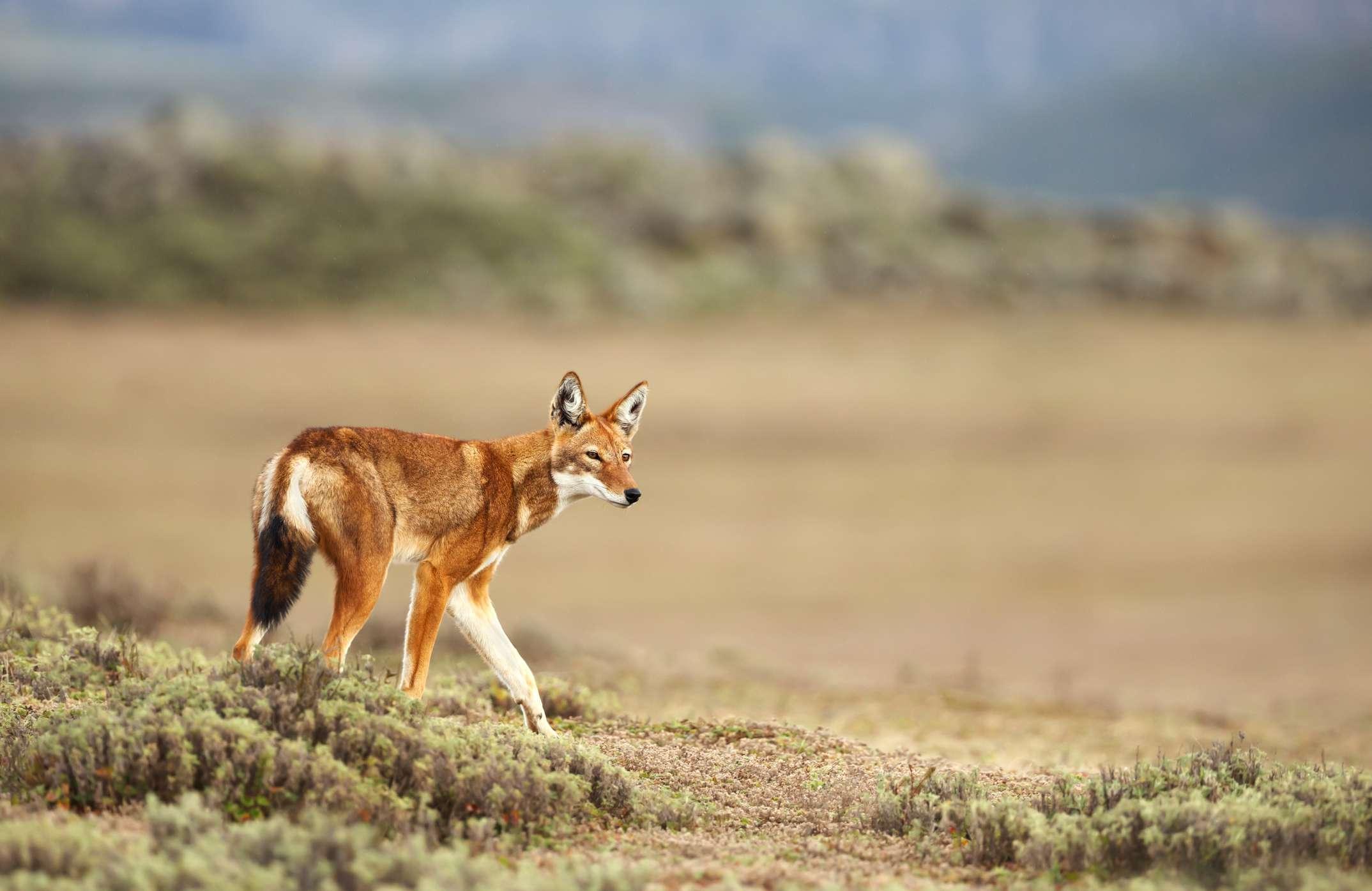 Ethiopian wolf, Ethiopia