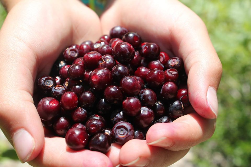 Montana huckleberries