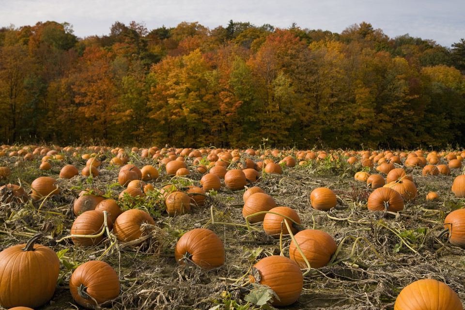 Pumpkin patch in the fall