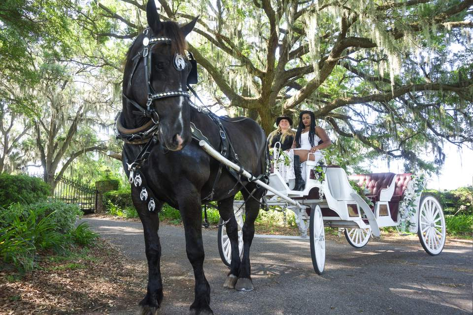 Handsome black-colored Percheron horse pulls a fancy white carriage with two passengers under live oaks in the country on a summer day, Marion County, Ocala, Florida, USA