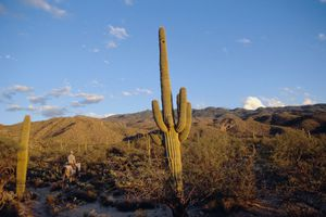 A man rides by a tall Saguaro cactus on the Tanque Verde Ranch in the Rincon Mountains.