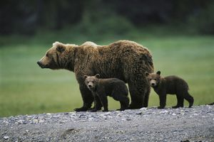 A mama bear and her two cubs wander the wilderness