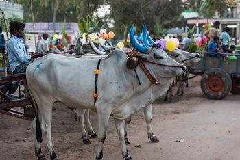 Pongal 2020: Tamil Nadu's Harvest Thanksgiving Festival