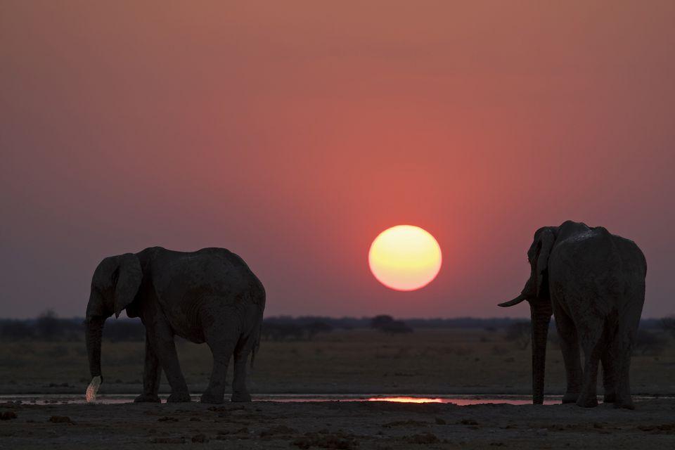 African Elephants (Loxodonta africana) drinking at a water hole, sunset, Nxai Pan, Makgadikgadi Pans National Park, Botswana, Africa