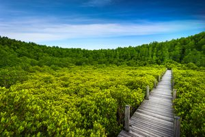 Thung Prong Thong forest Rayong, mangrove