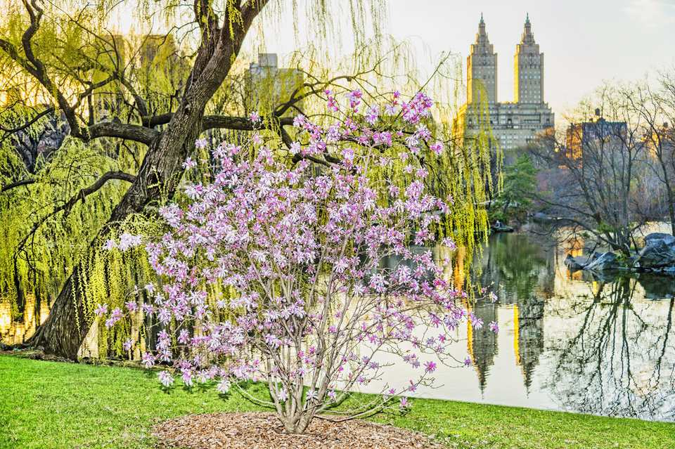 Spring bloom in Central Park