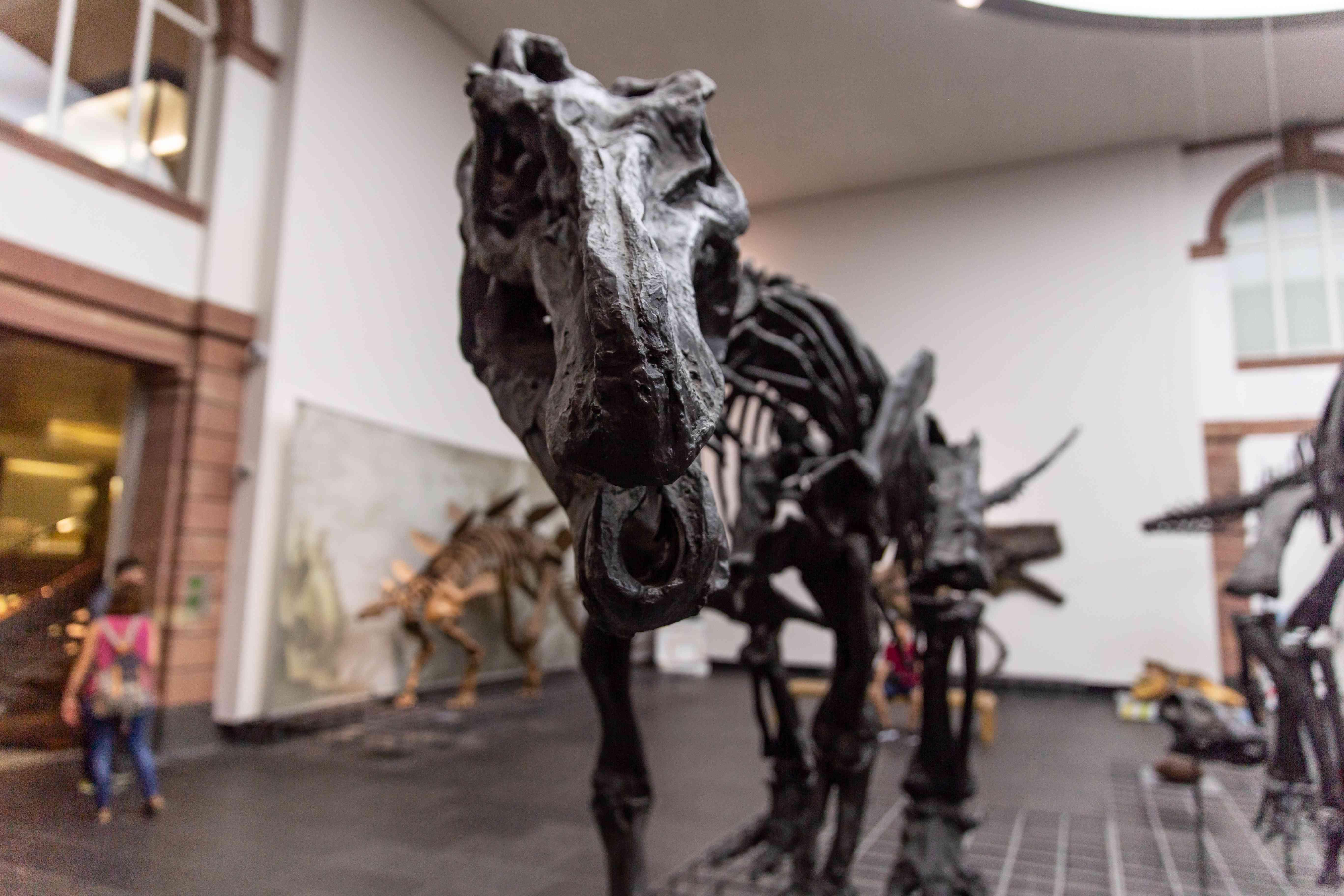 Primer plano de un esqueleto de dinosaurio en el Museo Senckenberg