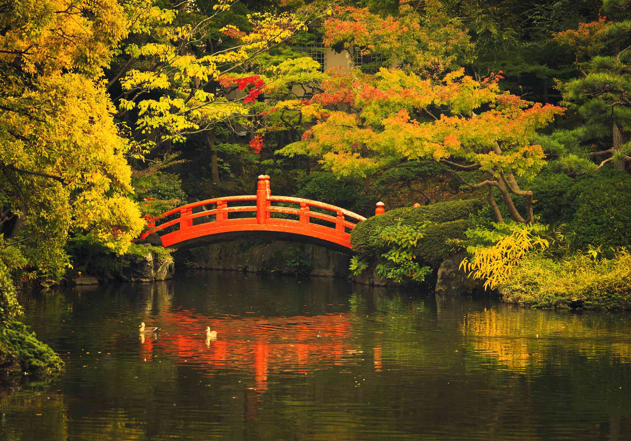 red Japanese footbridge going over a river in a Japanese Garden in autumn