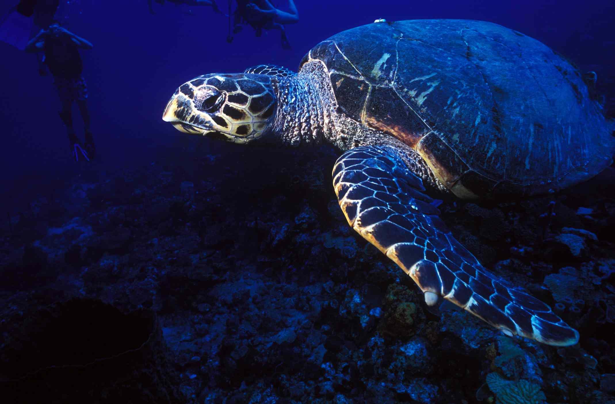 St Lucia sea turtle