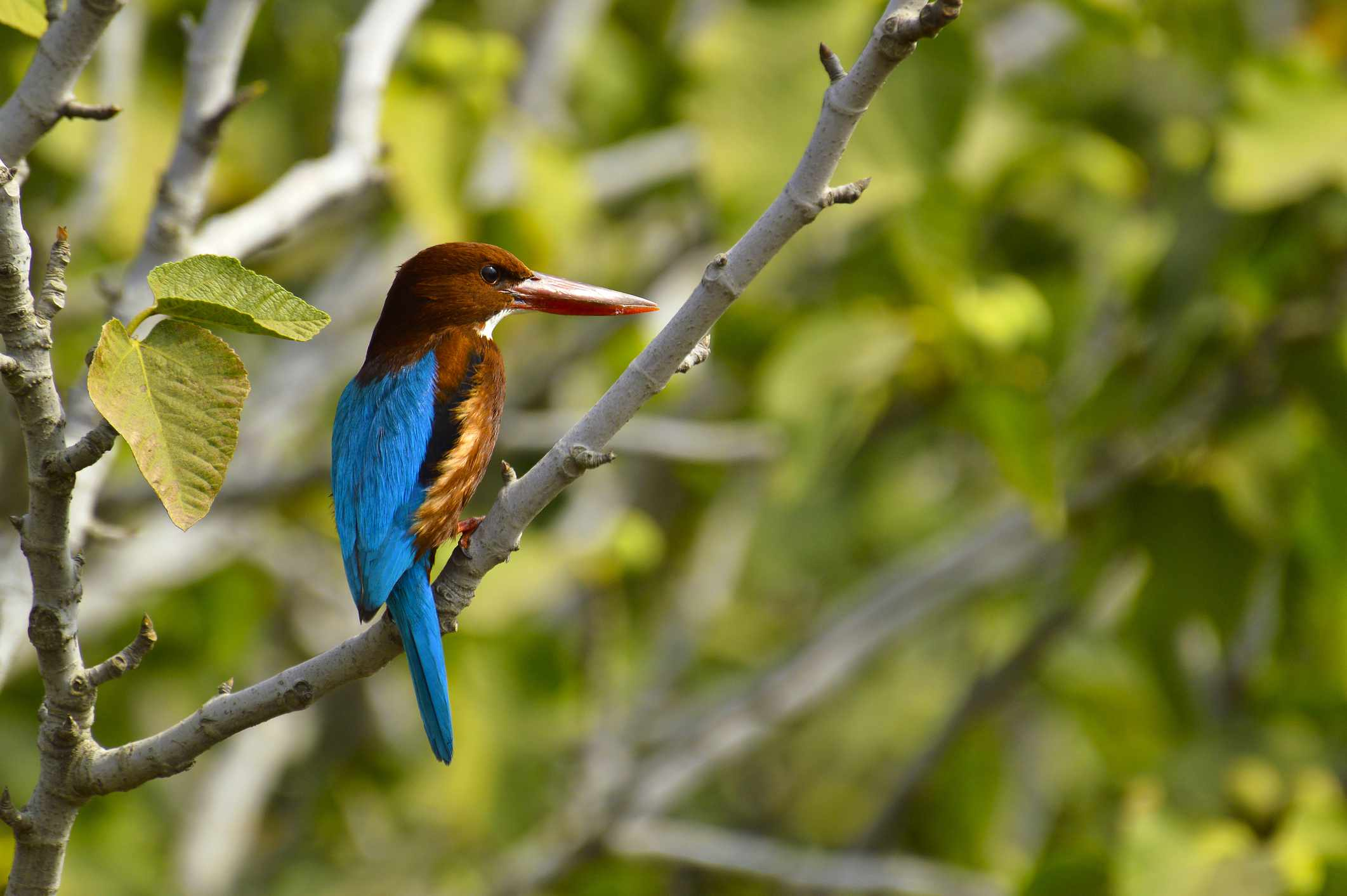 White-throated kingfisher, Halcyon smyrnensis or Smyrna kingfisher sitting on a branch, Pune