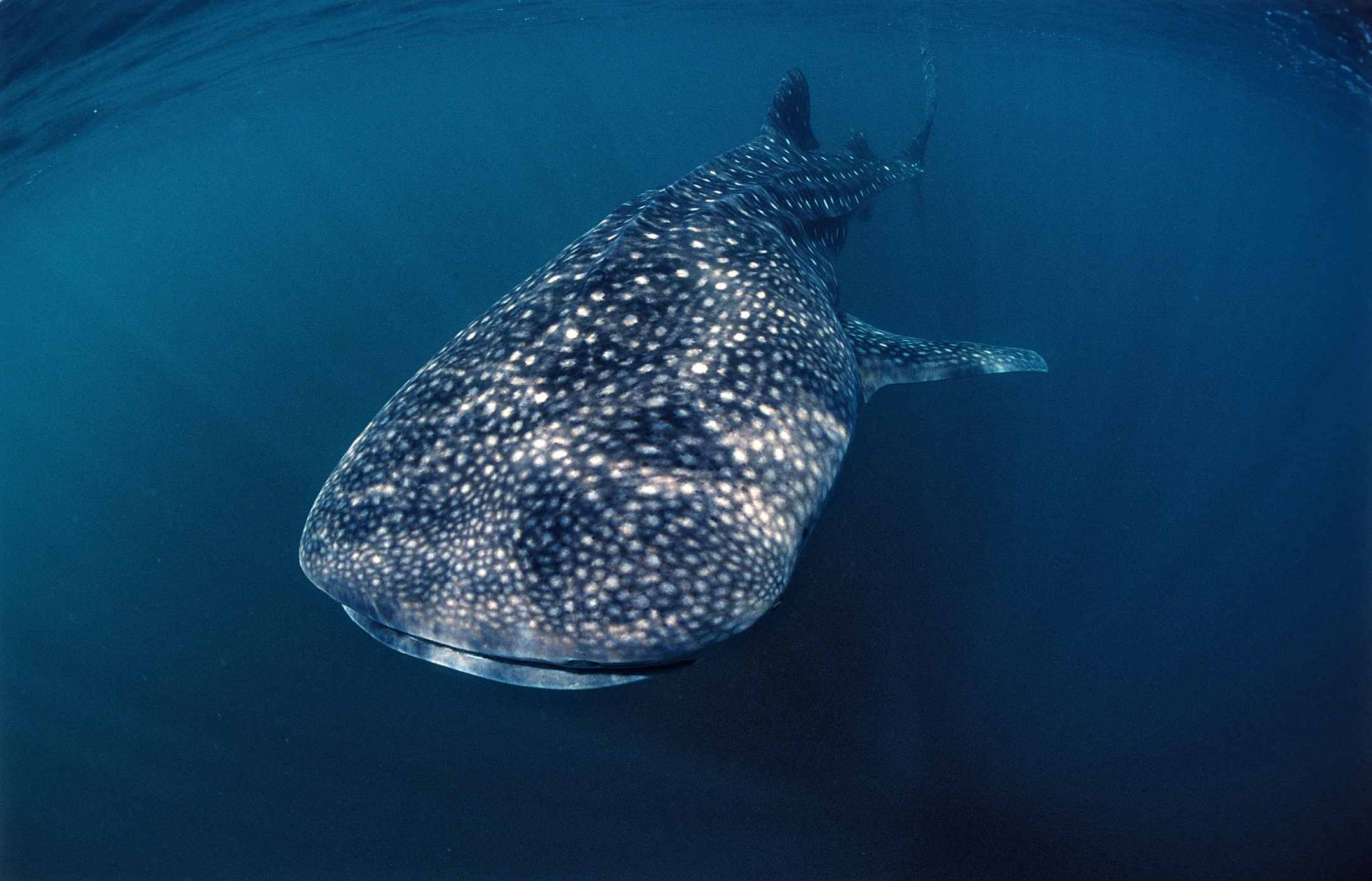 Africa's Best Destinations for Swimming with Whale Sharks