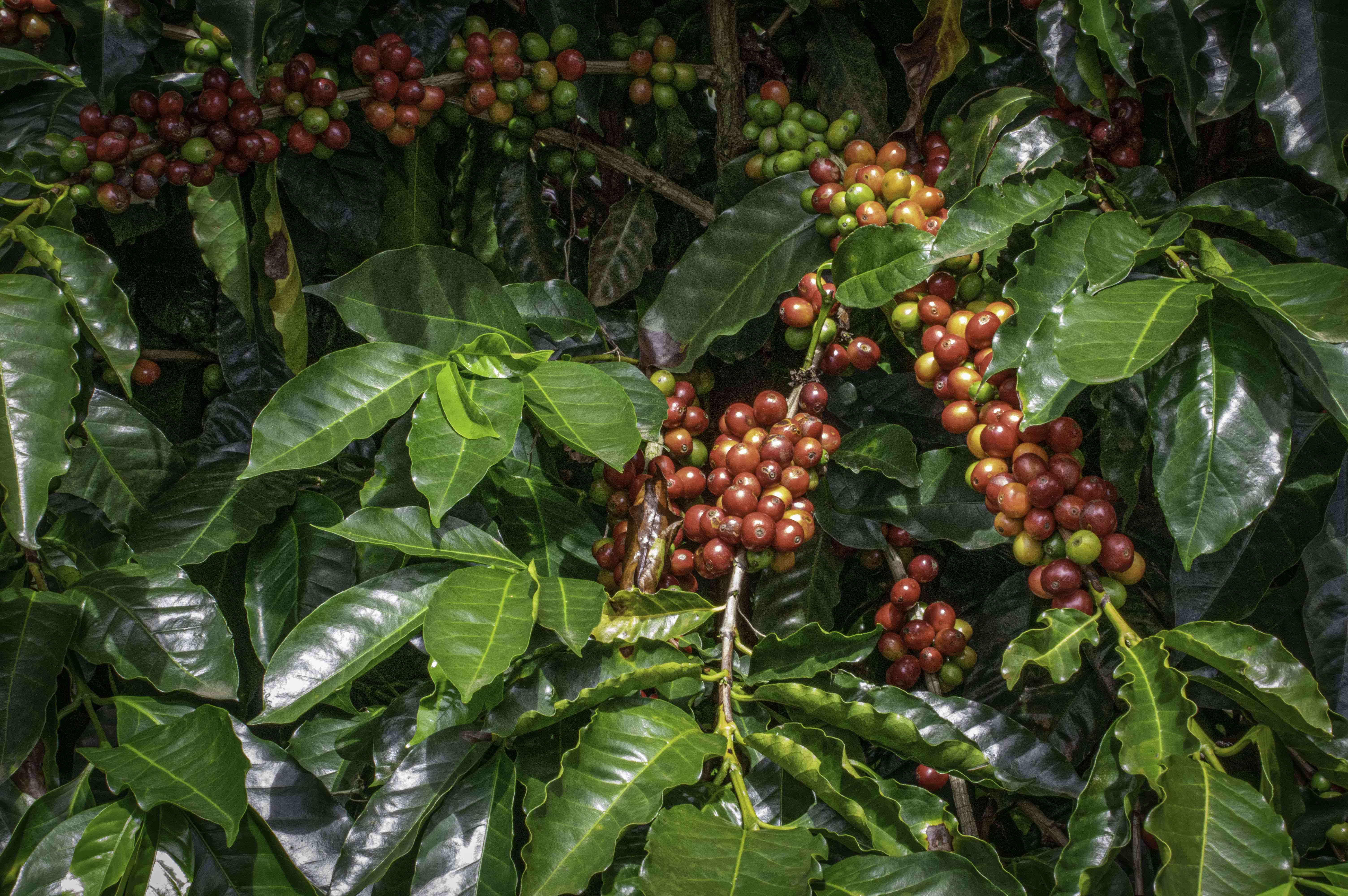 Coffee beans growing on the plant