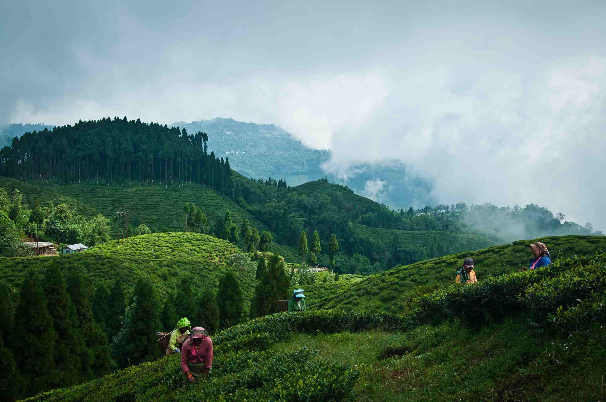 Darjeeling tea plantation.